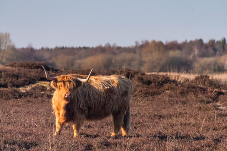 Schotse Hooglander in de Drentse natuur.